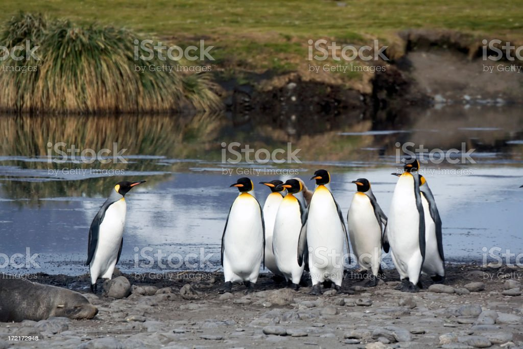 A group of king penguins in front of water in South Georgia stock photo