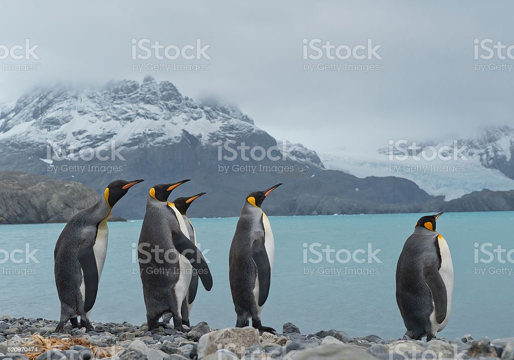 Group of king penguins standing on the beach stock photo
