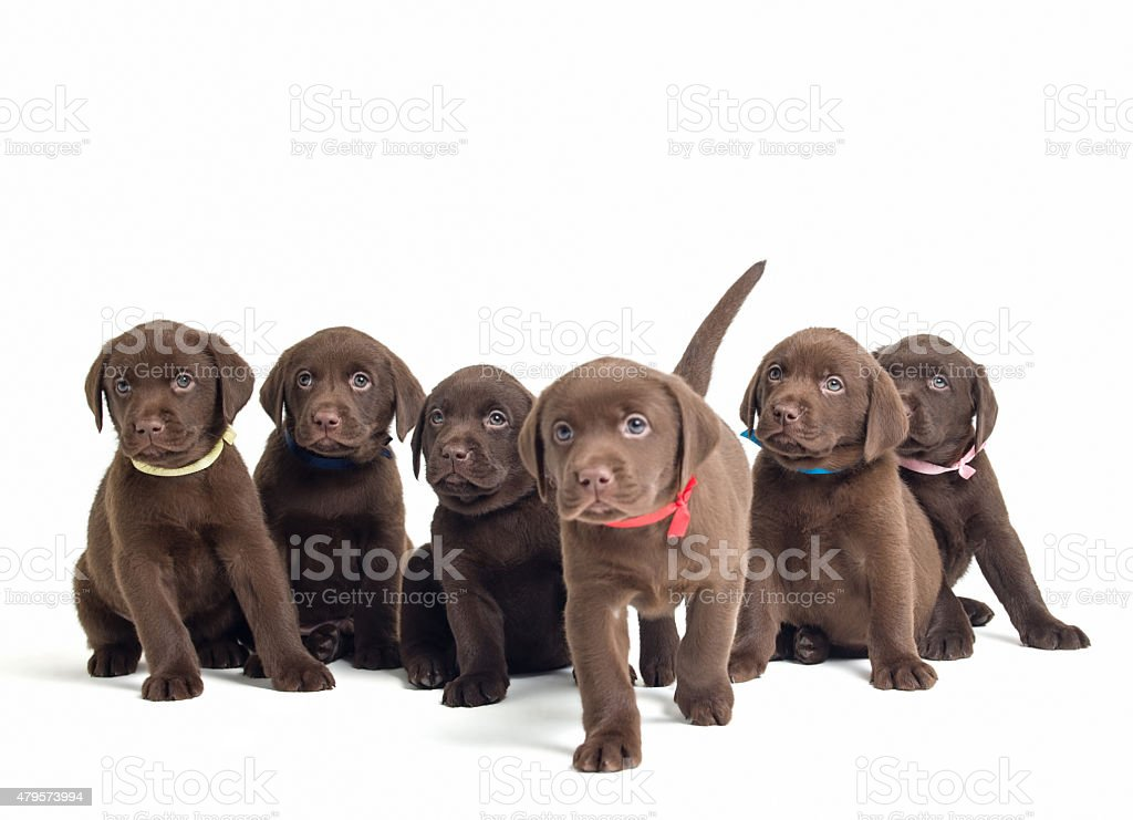 Group of Labrador Retriever puppies isolated on white stock photo