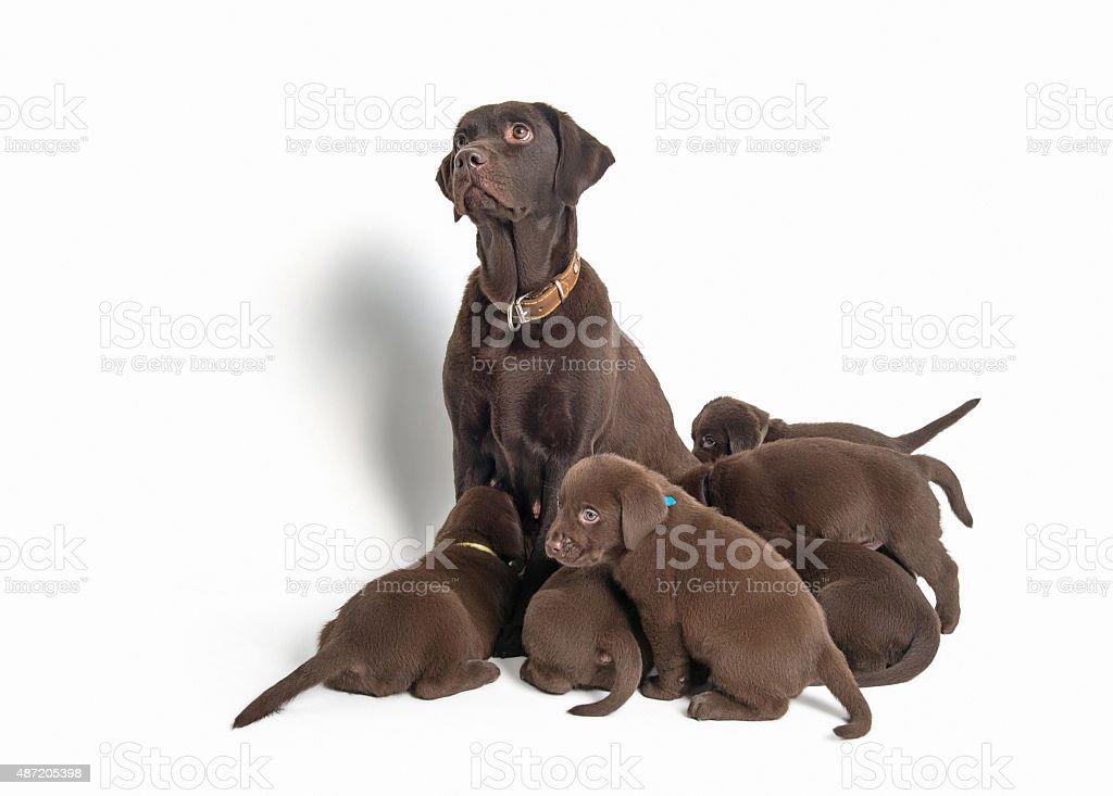 Group of Labrador Retriever puppies on white background stock photo