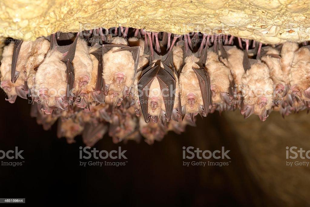 Group of Lesser horseshoe bat (Rhinolophus hipposideros) stock photo