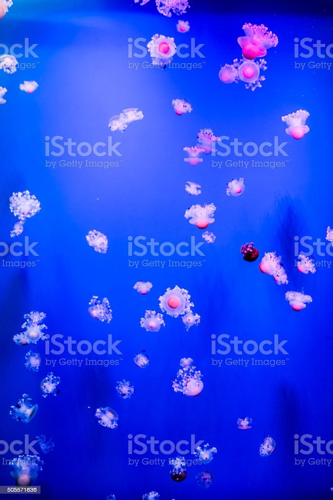 Group of light blue jellyfish stock photo