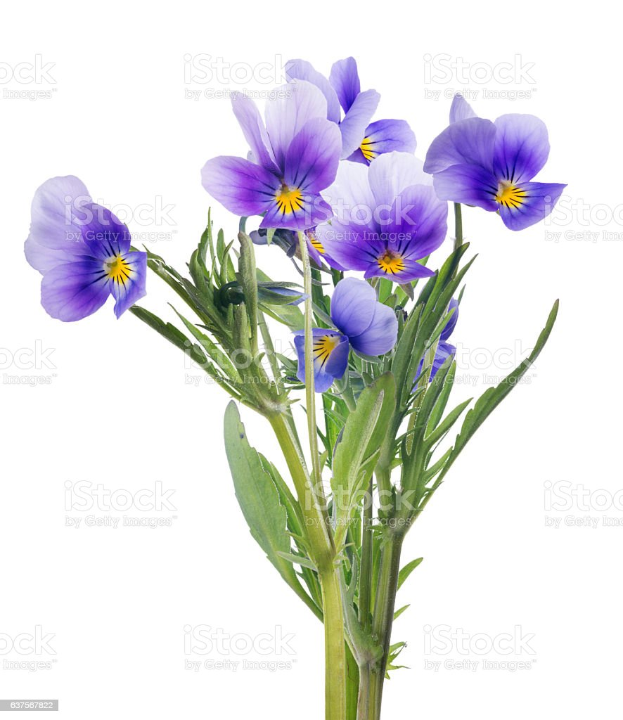 group of lilac pansy lilac flowers on white stock photo