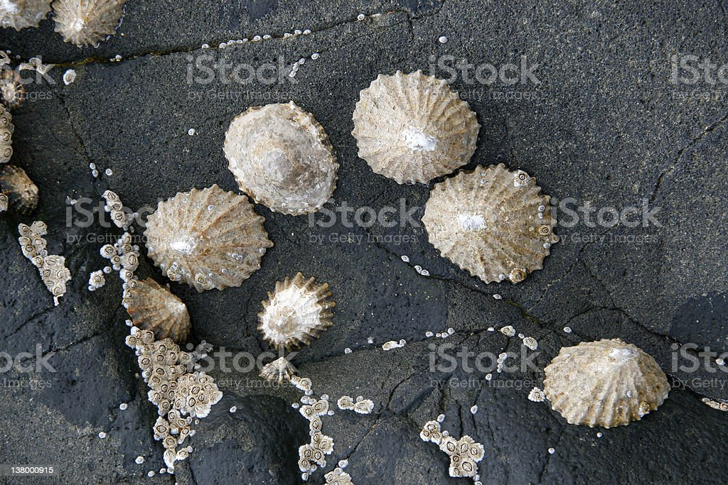 Group of limpets royalty-free stock photo