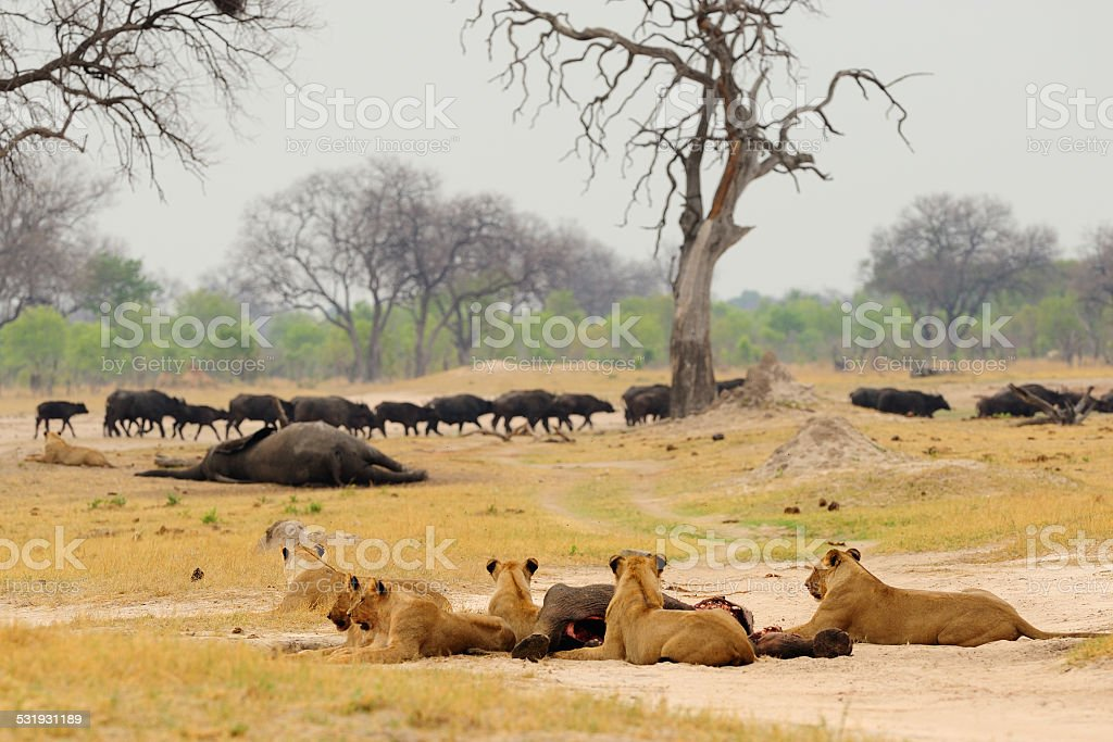 Group of lions watching a buffalo herd stock photo