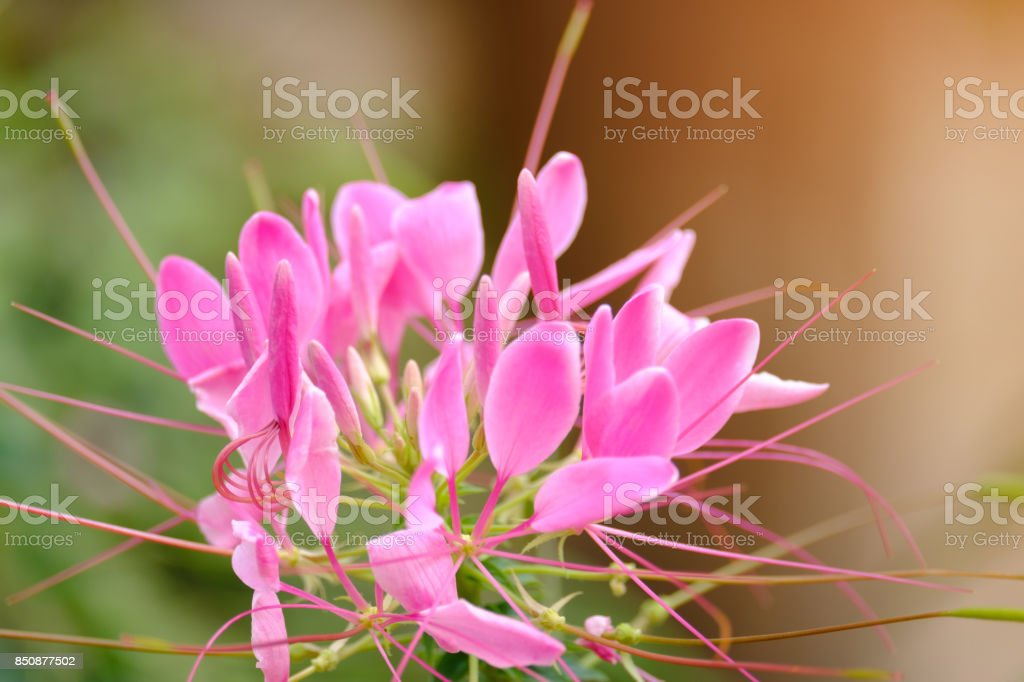 Group of little Pink flowers stock photo