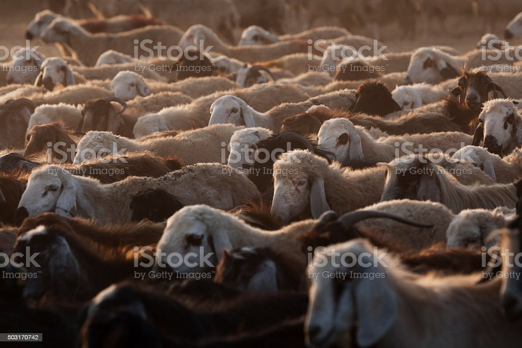 Group of live stock for sale as a sacrificial animal stock photo