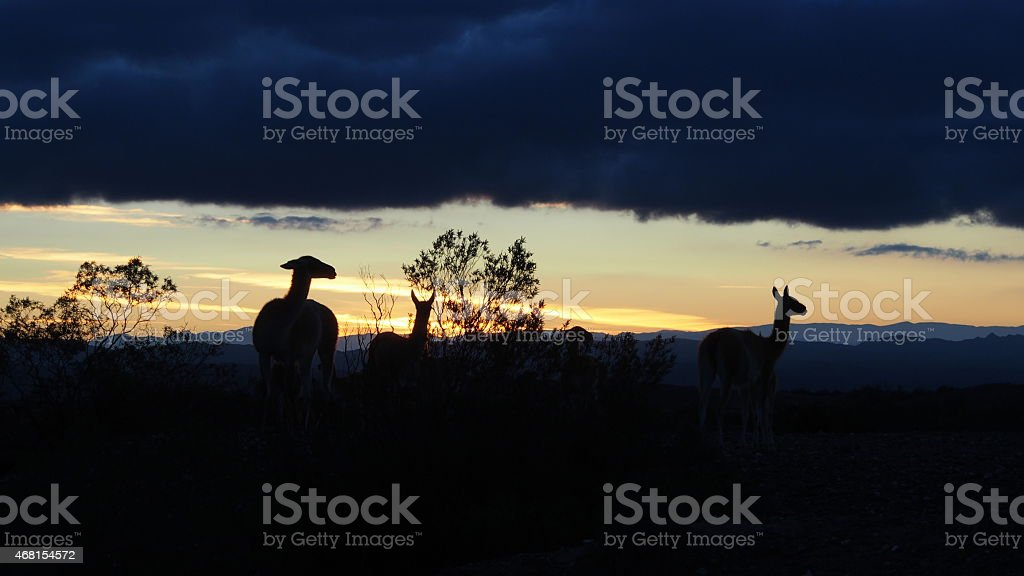 Group of llamas at dusk in Moon Valley, Argentina stock photo