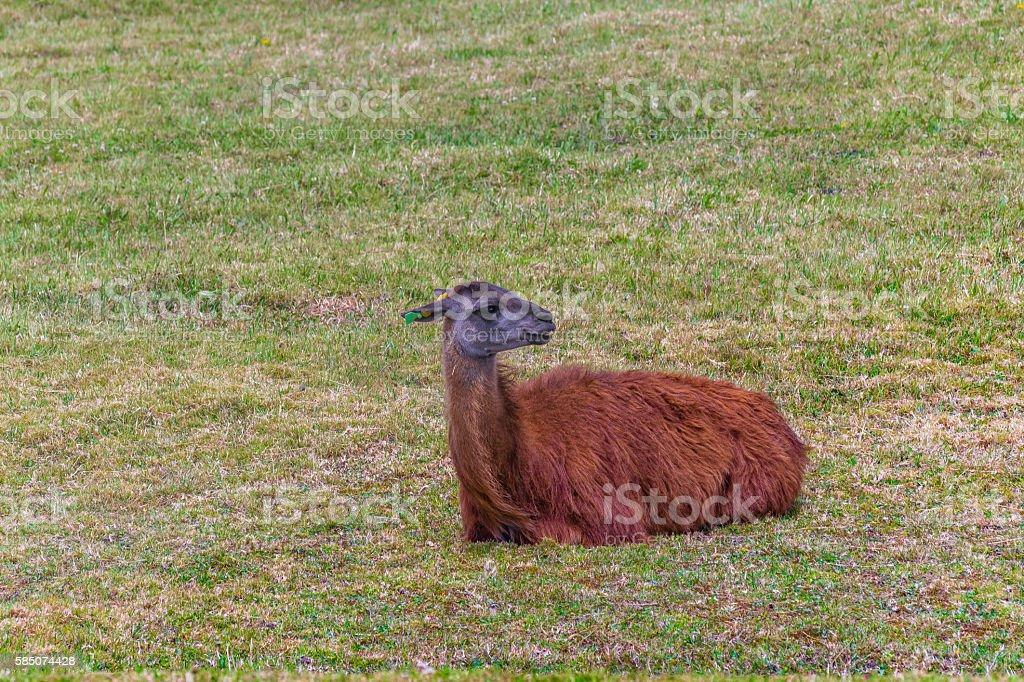 Group of llamas resting at grass stock photo