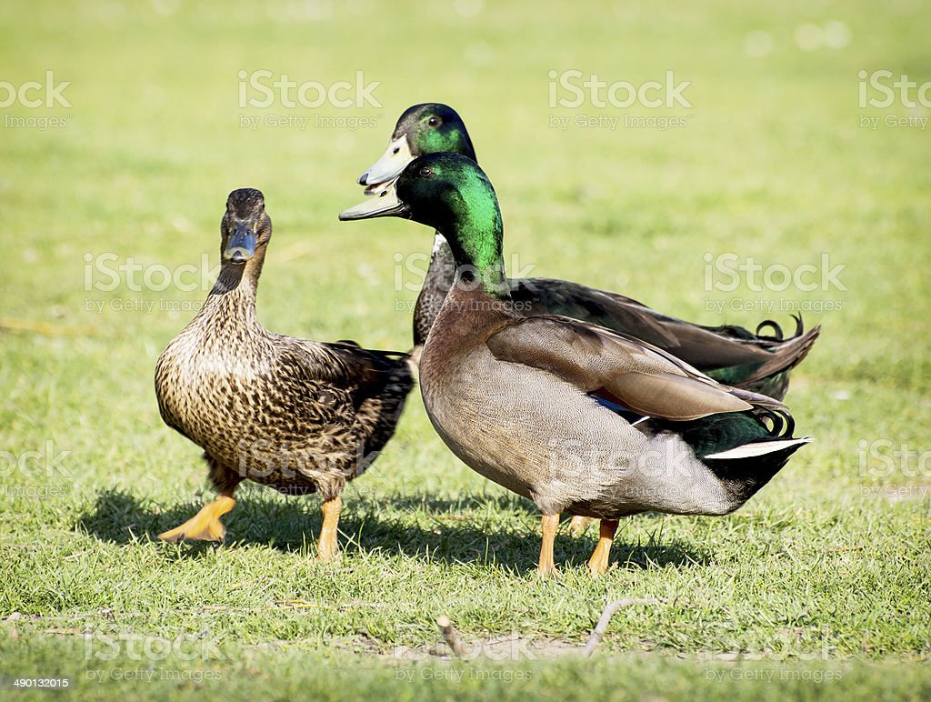 Group of mallard ducks on the lawn stock photo