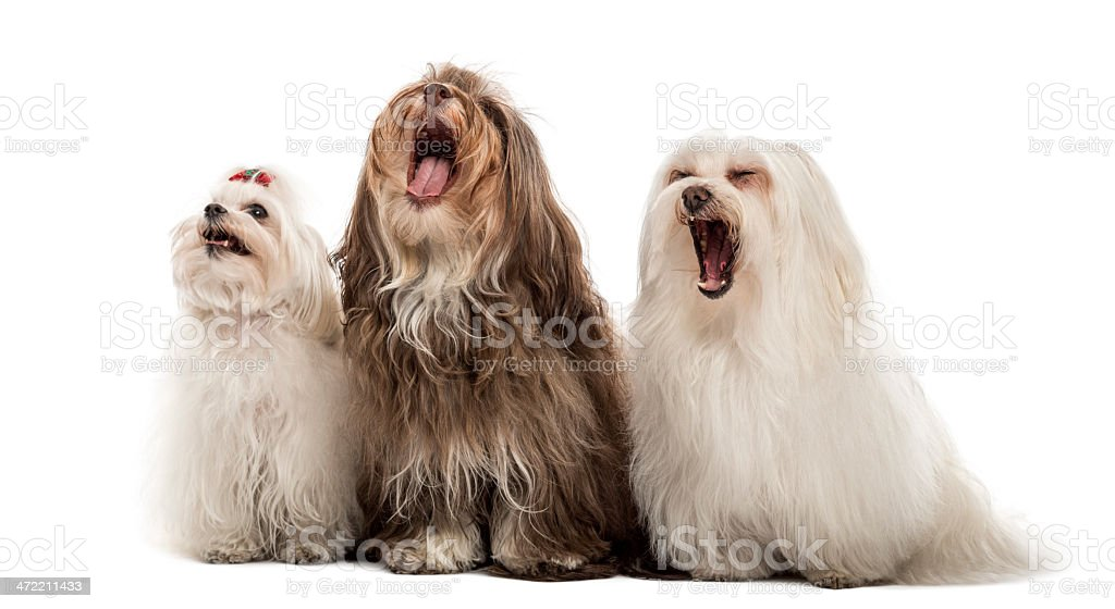 Group of Maltese dogs, yawning, sitting in a row stock photo