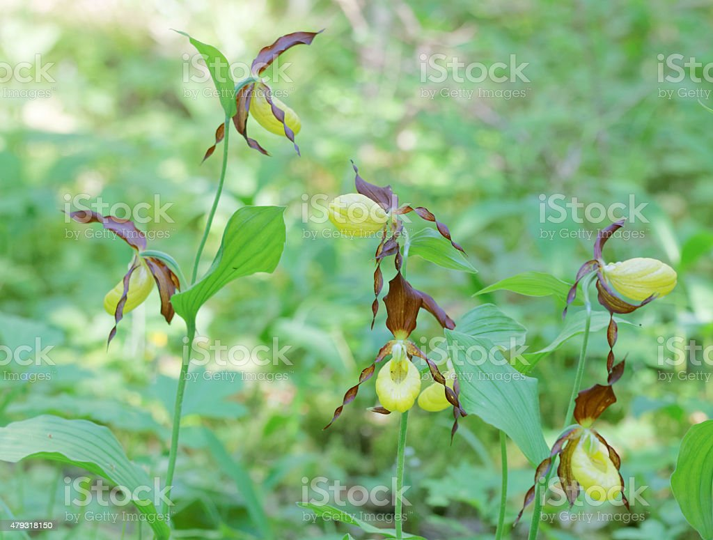 Group of many yellow Lady's slippers orchids stock photo