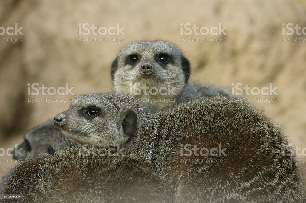 Group of meerkats royalty-free stock photo