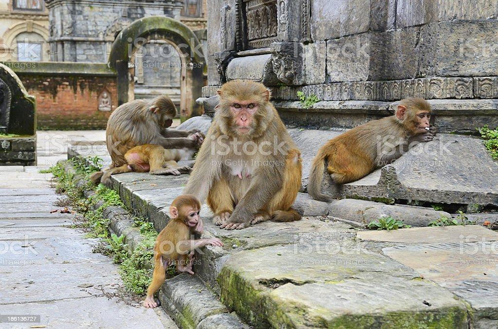 Group of monkeys royalty-free stock photo