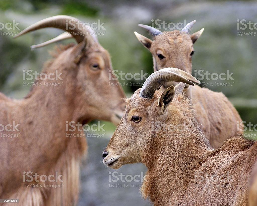 group of mountain goats stock photo