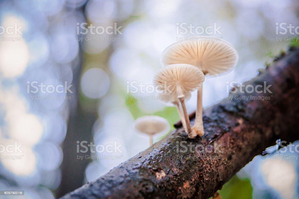 Group of mushrooms - Oudemansiella mucida stock photo