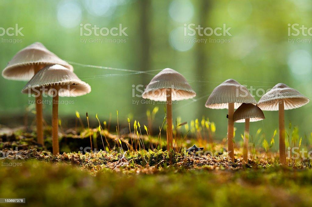 group of mycena mushrooms stock photo