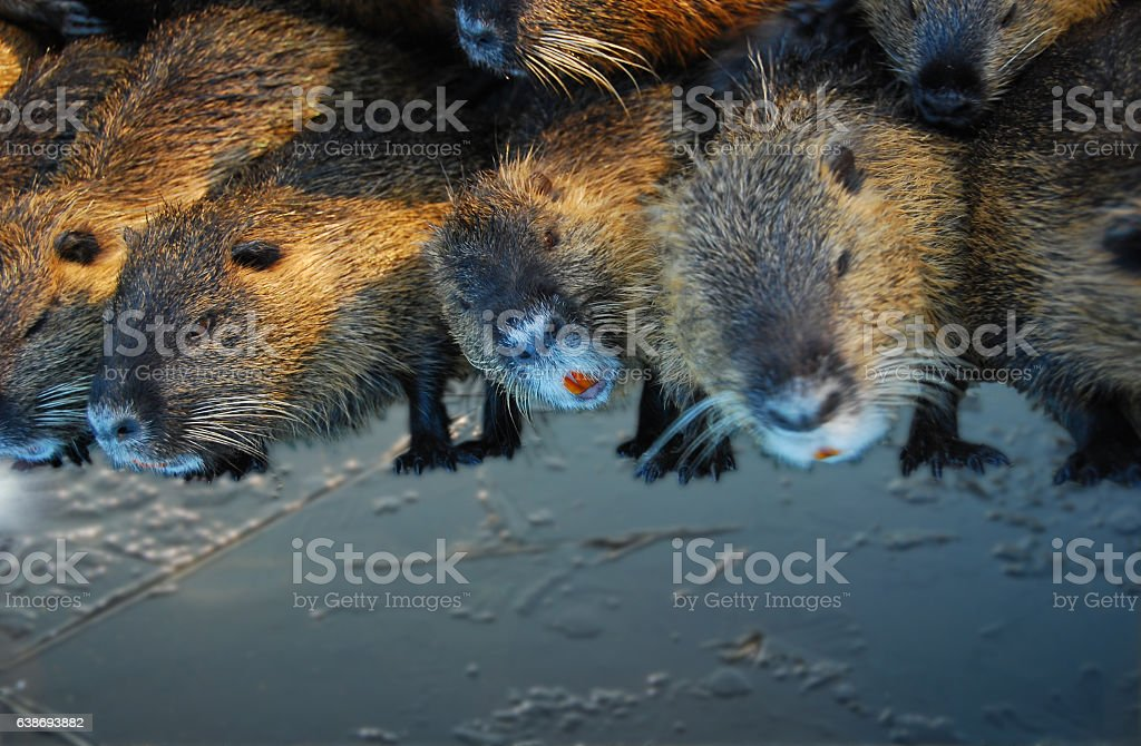 Group of Nutria standing slippery on Ice. stock photo