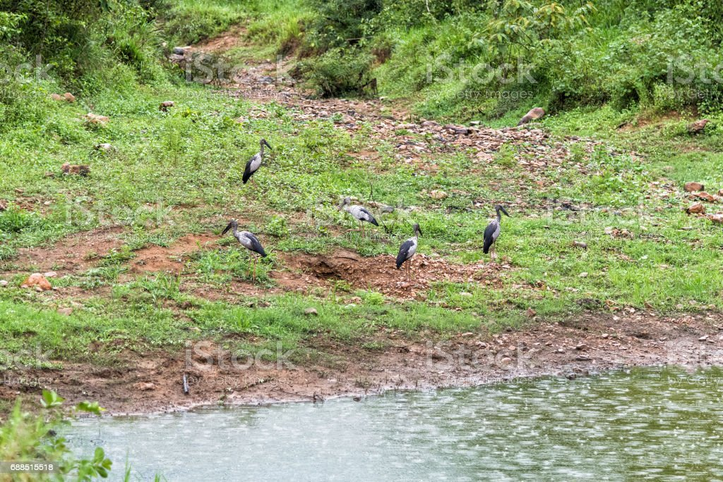 Group of Open-billed stork in nature. stock photo