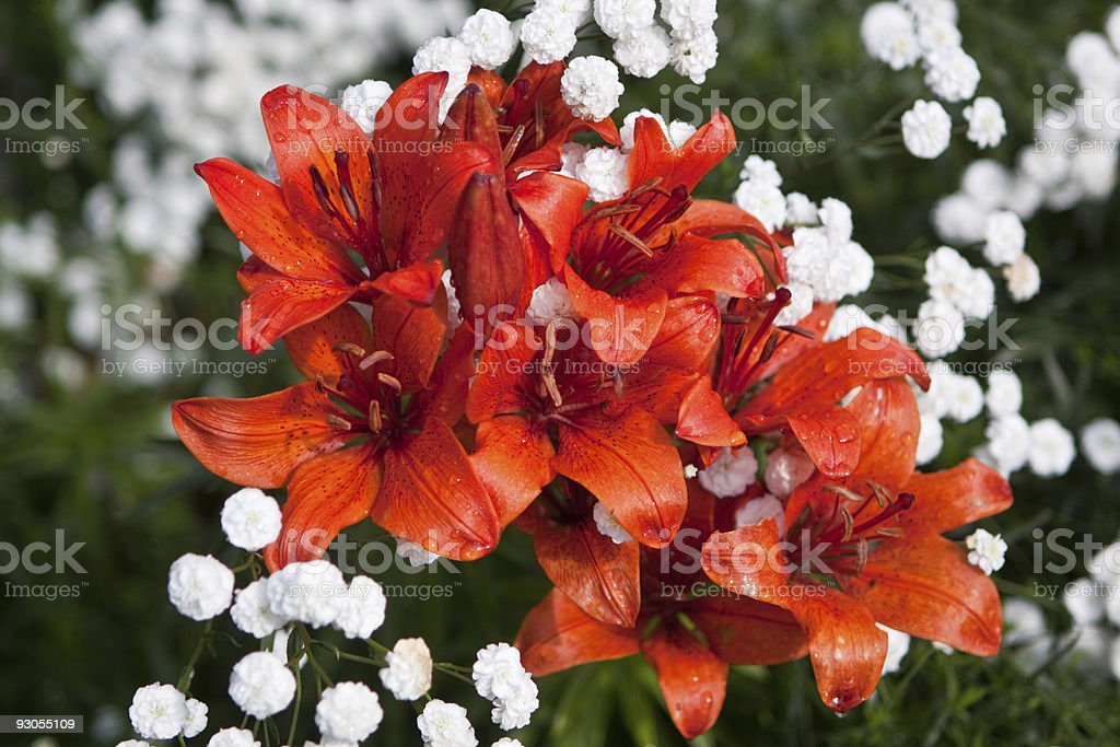 Group of orange Tiger Lily flowers stock photo