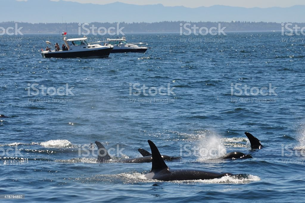 Group of Orca Whales Boats Looking On in the Distance stock photo