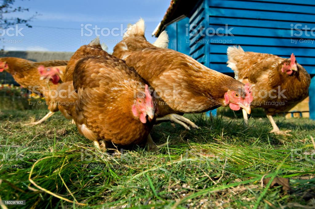 Group of Outdoor Raised Organic Chickens Feeding royalty-free stock photo