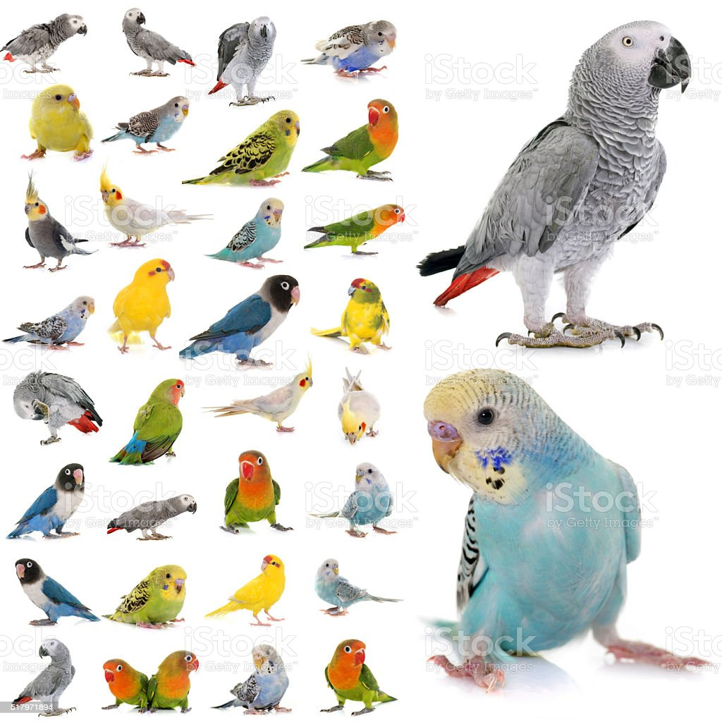 group of parakeets and parrots stock photo