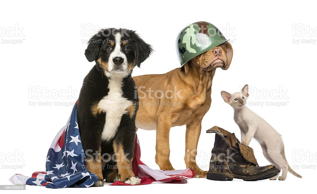 Group of Patriotic dogs and cat stock photo