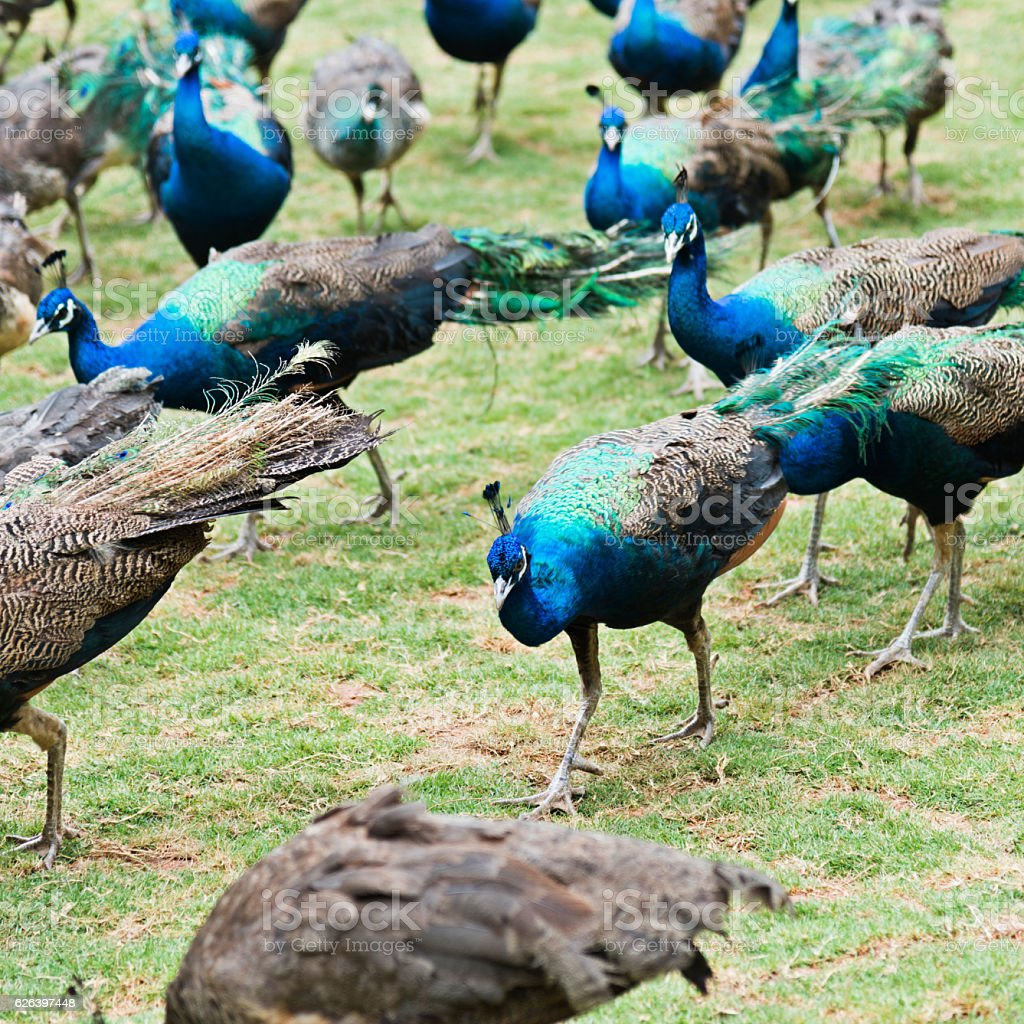 Group of peacocks walking on the lawn stock photo