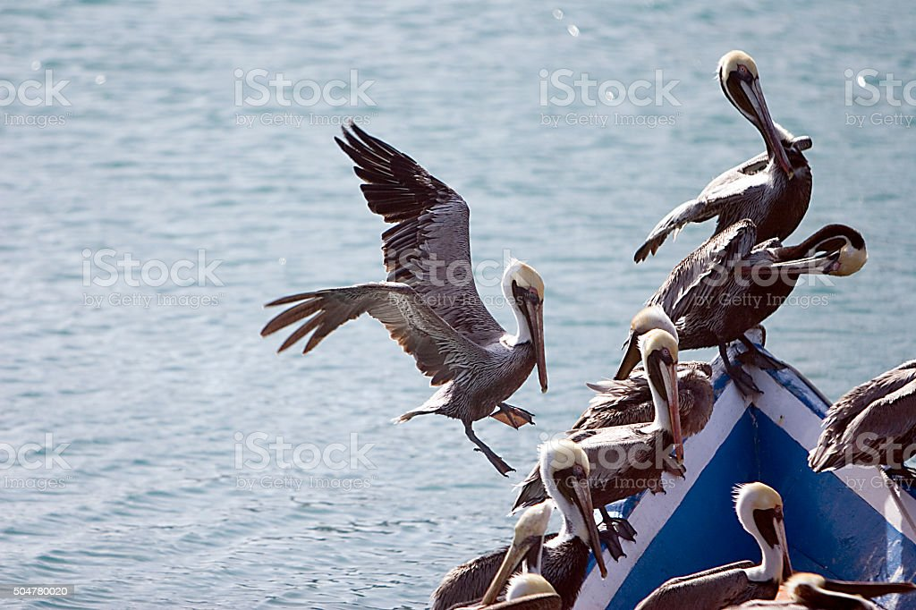 Group of Pelicans on Boat stock photo