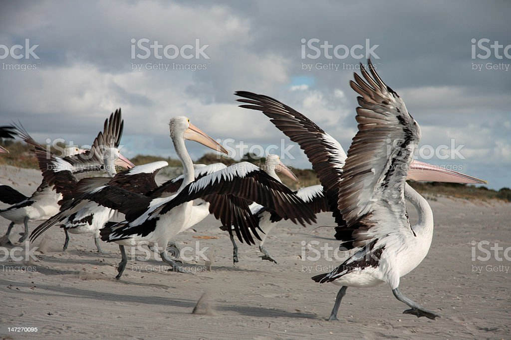 Group of Pelicans royalty-free stock photo