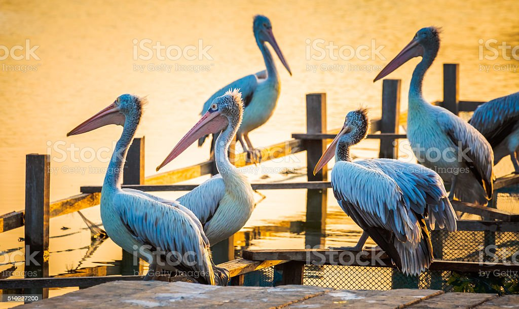 Group of pelicans resting on wooden planks stock photo