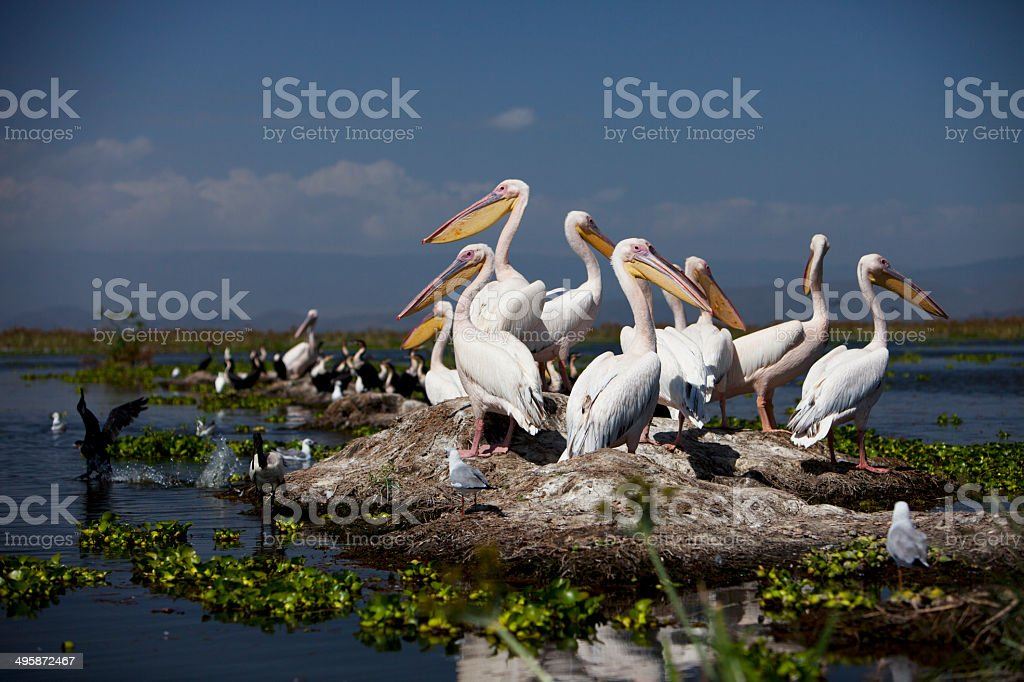 Group of pelicans resting stock photo