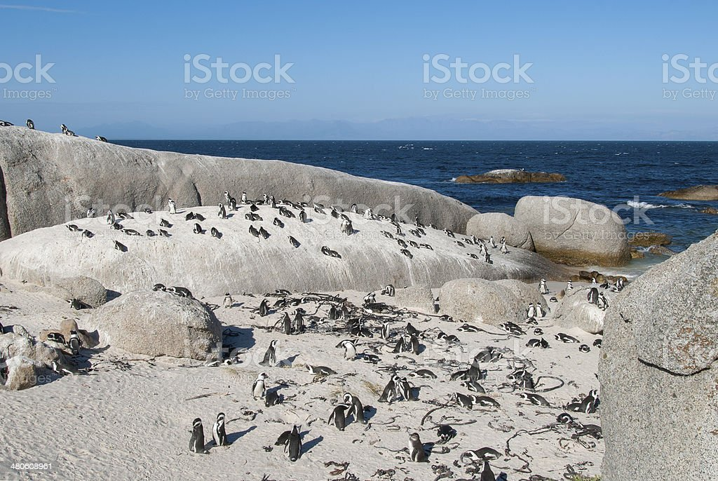 Group of Penguins royalty-free stock photo