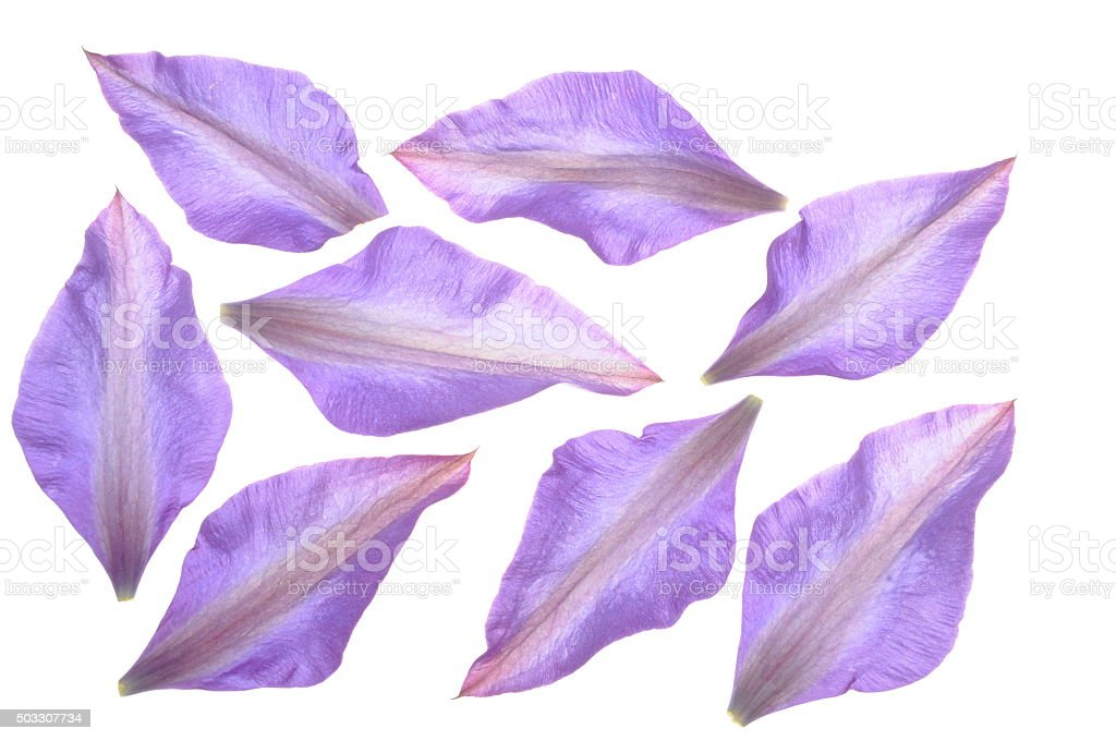 Group of petals of clematis flower stock photo