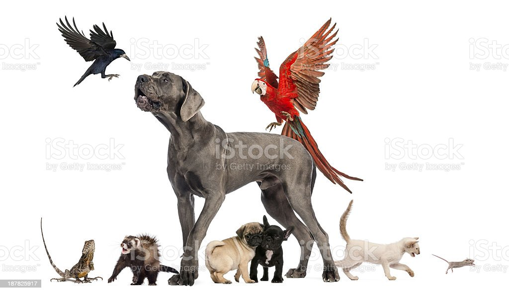 Group of pets - Dog, cat, bird, reptile, rabbit, isolated royalty-free stock photo