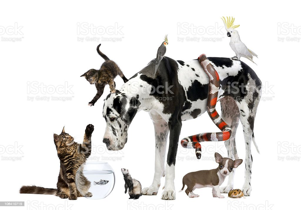 Group of pets Dog, cat, bird, reptile, rodent, ferret, fish royalty-free stock photo