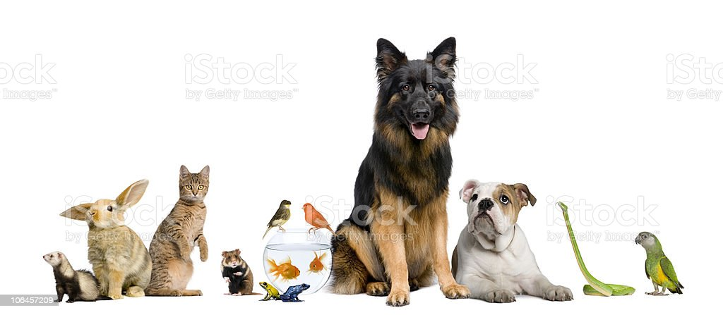 Group of pets Dog, cat, bird, reptile, rodent, ferret, fish stock photo