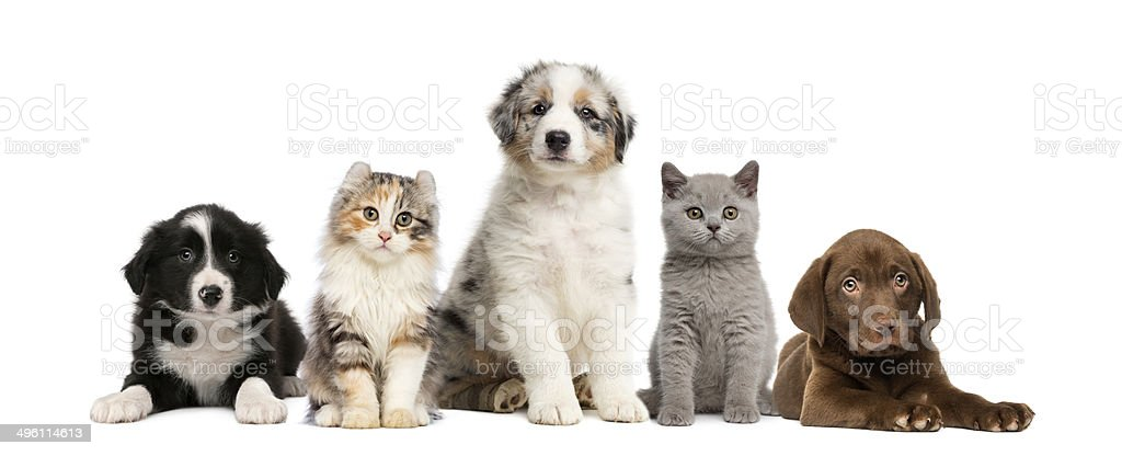 Group of pets: kitten and puppy on a raw stock photo