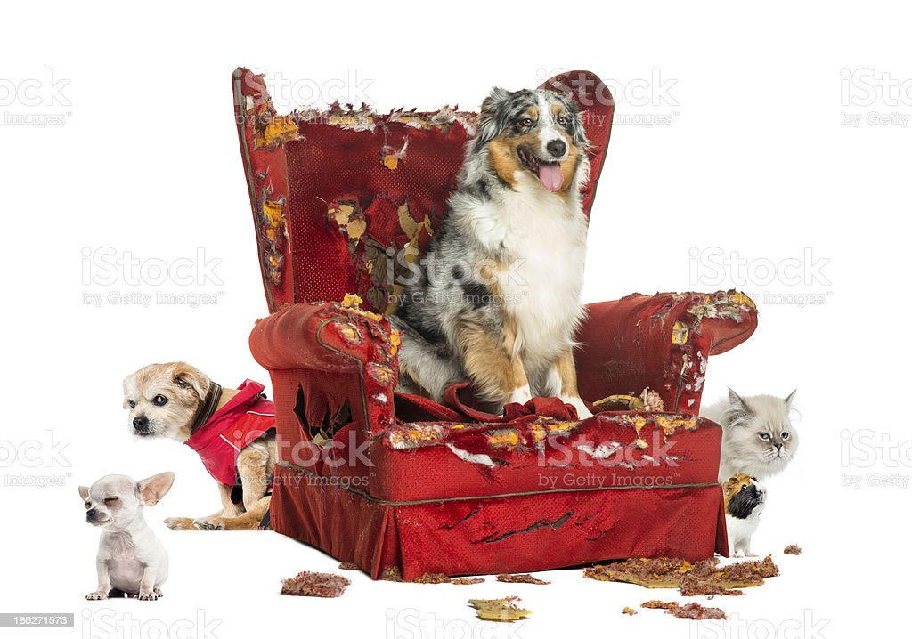 Group of pets on a destroyed armchair, isolated stock photo