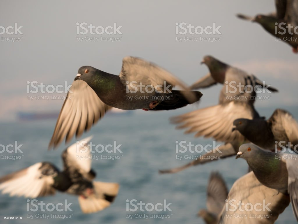 Group of pigeon bird flying by the sea stock photo
