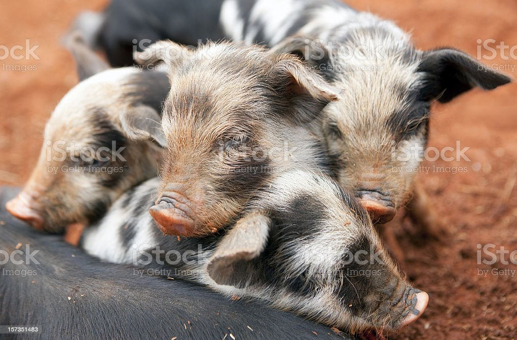 Group of Piglets stock photo