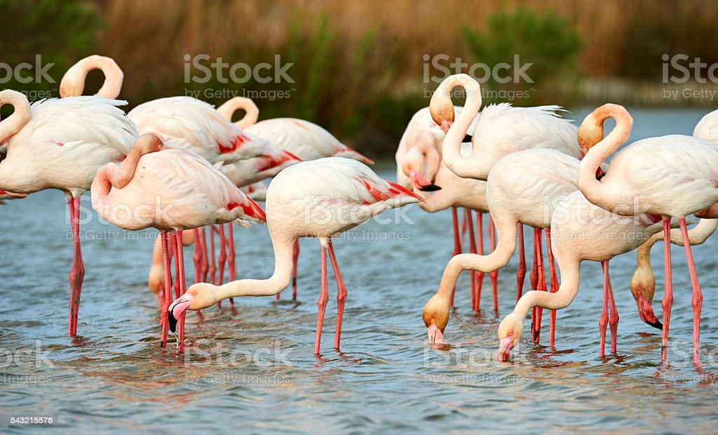 Group of pink flamingos stock photo