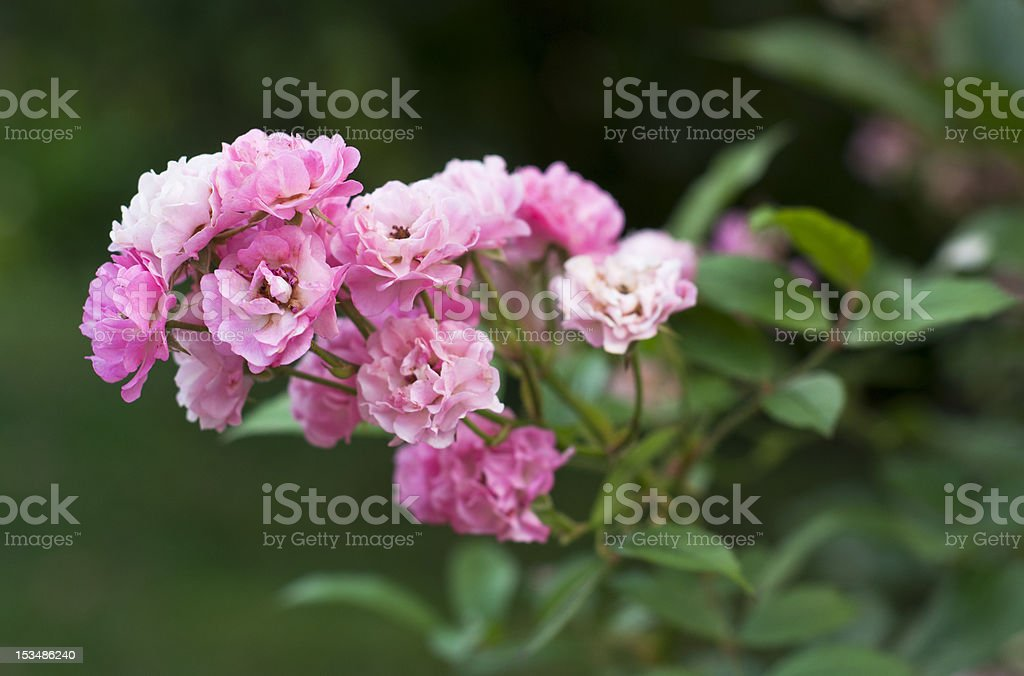 Group of pink roses royalty-free stock photo