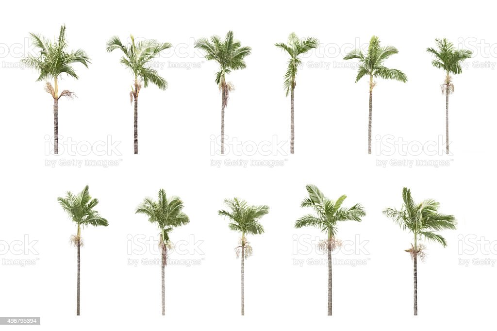 Group of plam trees isolated on white background stock photo