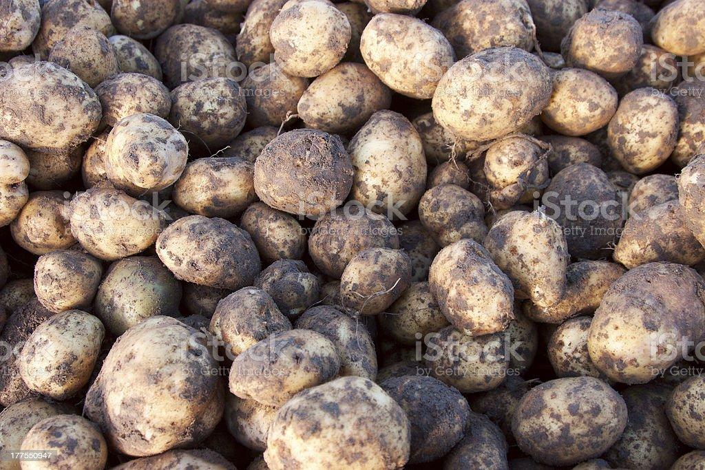 group of potato royalty-free stock photo