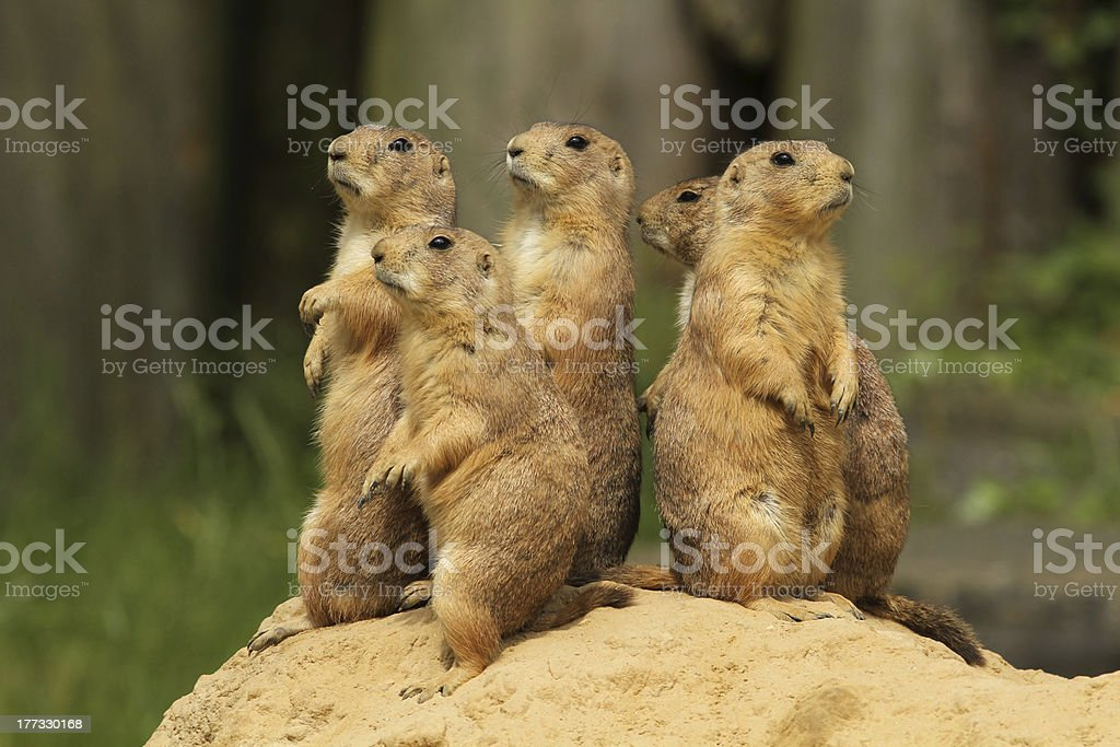 Group of prairie dogs standing upright stock photo