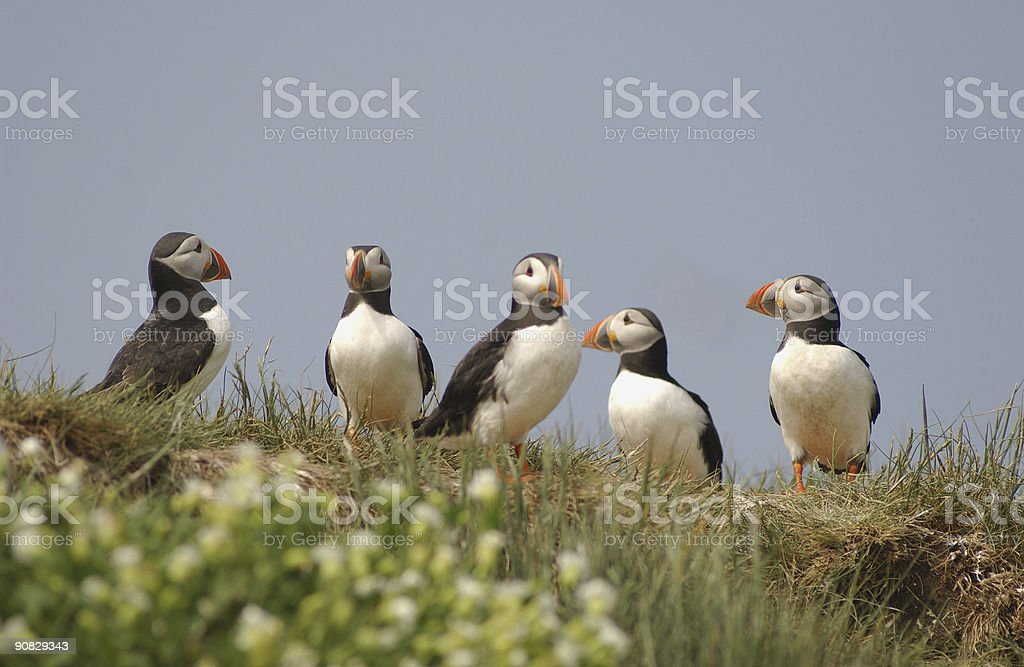 Group of Puffins stock photo