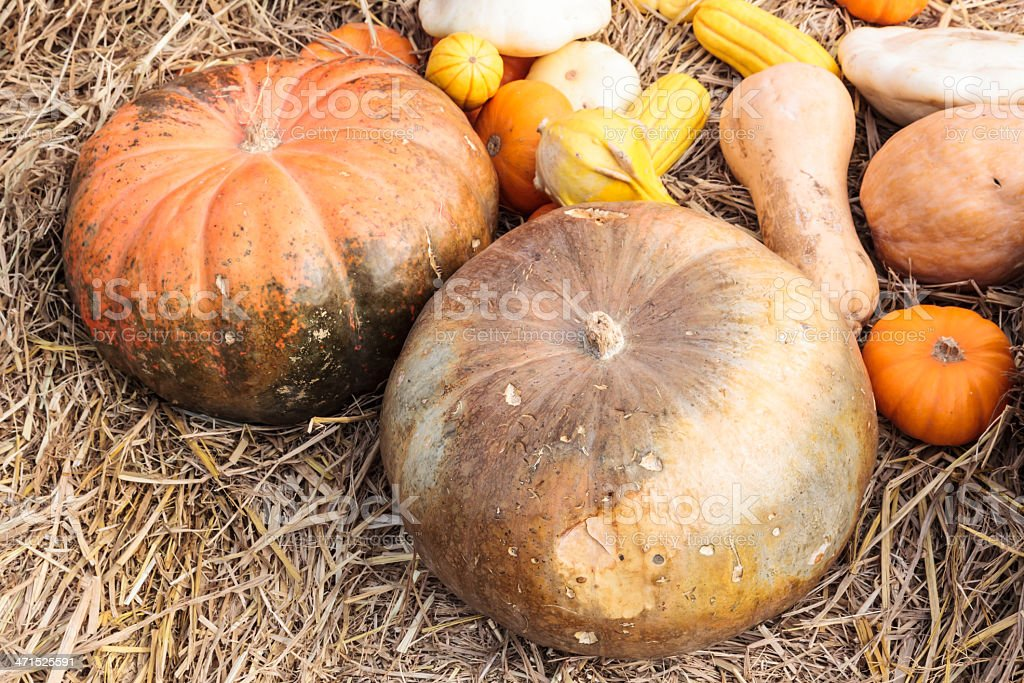 Group of pumpkins on dry straw royalty-free stock photo