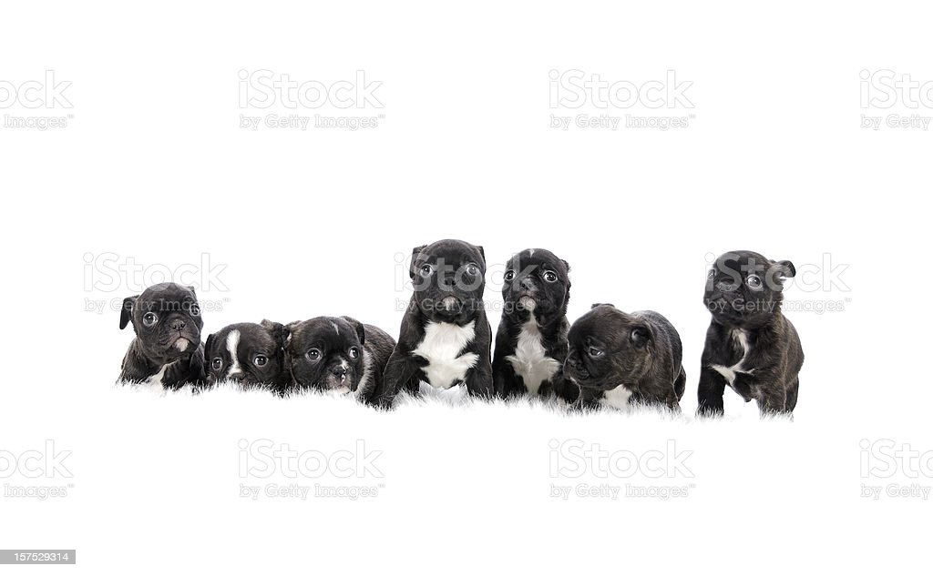 Group Of Puppies On White Background royalty-free stock photo